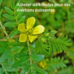 commander du tribulus naturel